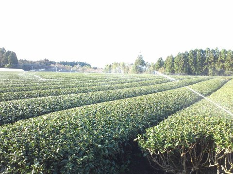 お茶畑です