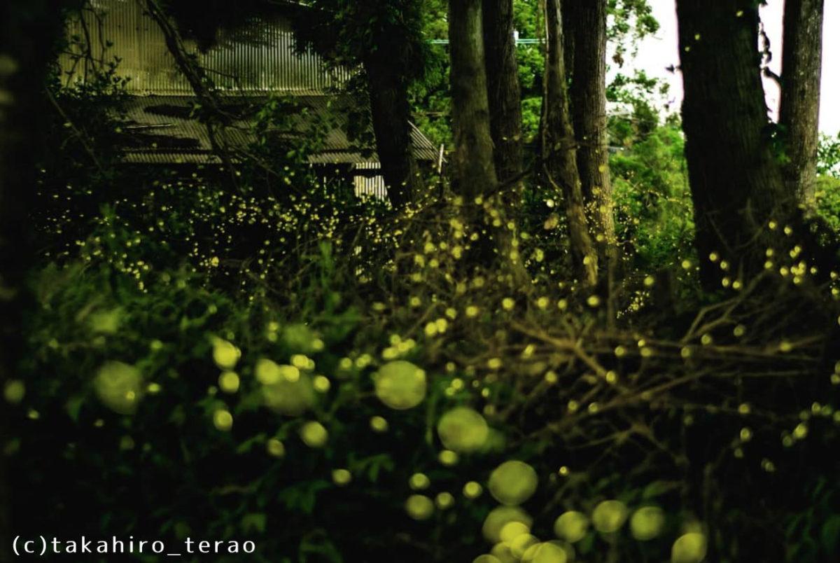 今年も茶畑に姫蛍がたくさん舞いました。